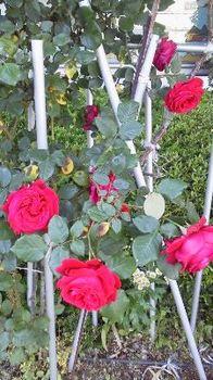 庭の薔薇.jpg